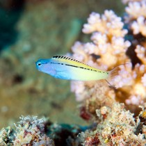 Red Sea Mimic Blenny swimming over corals