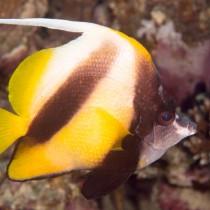 Red Sea Pennant Coralfish