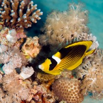 Red Sea Racoon Butterflyfish nestled within Xeniidae