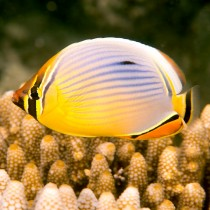 Redfin Butterflyfish hovering over Acropora coral