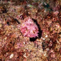 Reef Stonefish, the deadliest fish on the reef