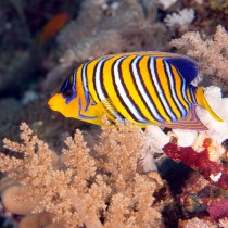 Regal Angelfish in corals