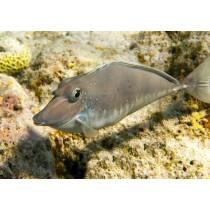 Ringtailed Unicornfish