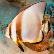 Roundface Batfish