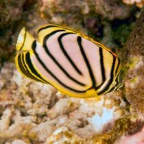 Scrawled Butterflyfish feeding on Coral Polyps
