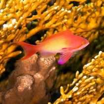 Sea Goldie by Fire Coral