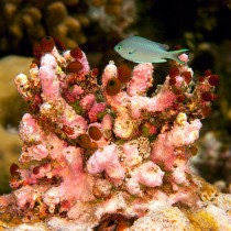 Green chromis by sea squirts
