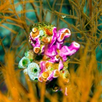 Pink clinging synascidia, didemnum & sea squirts