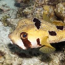 Shortspine Porcupinefish