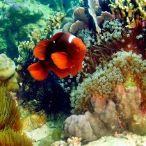 Spinecheek Clownfish by a rainbow of marine life