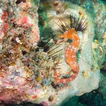 Spiny Seahorse elegantly poised on a rocky ledge