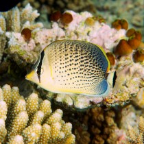 Spotted Butterflyfish by corals and sea squirts