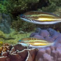 Three-banded threadfin-bream above corals