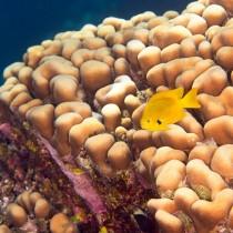 Sulphur Damsel by attractive interlacing corals