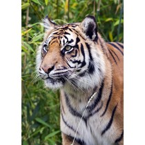 Tiger - largest of the big cats