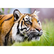 Sumatran Tiger close-up