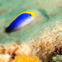 Sunrise Dottyback peeping up from the seabed