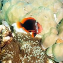 Tomato Clownfish by Bubble-Tip Anenome