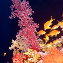 Tree Coral surrounded by Anthias