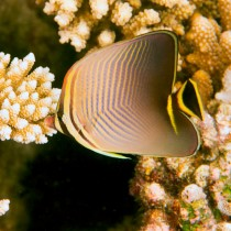 Triangular Butterflyfish within beautiful coral reef