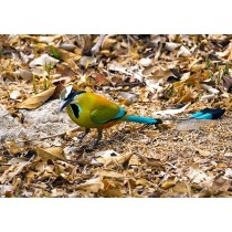 Turquoise-browed motmot foraging