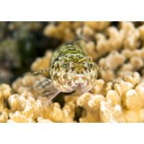 Two-spot Lizardfish
