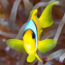 Clownfish (Twoband Anemonefish)