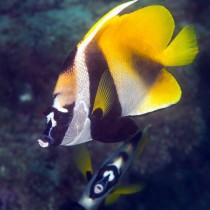Unicorn Pennant Coralfish