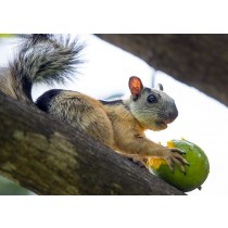 Variegated Squirrel feasting on a Mango
