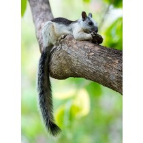 Variegated Squirrel perched on a branch feeding