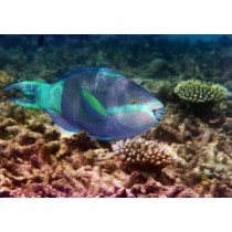 Vermiculate Parrotfish