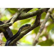 White-bellied Rat Snake sinuously entwined