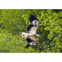Eagle in Flight (Juvenile)
