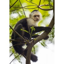 White-faced Capuchin in the Costa Rica Rainforest