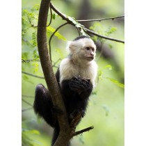 Capuchin Monkey feeding in an Acacia Tree