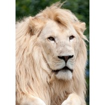 White lion - Transvaal Lion