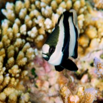 Whitetail Dascyllus posing by awesome corals