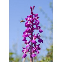 Wild Marsh Orchid
