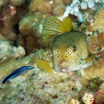 Yellow Boxfish being cleaned by a Wrasse