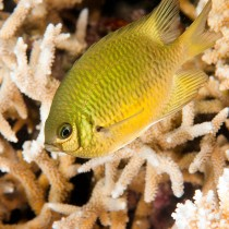 Yellowbelly Damselfish in a beautiful reef