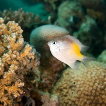 Yellowfin Damsel by branching & honeycomb corals