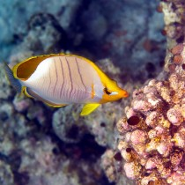 Yellowhead Butterflyfish feeding on the reef