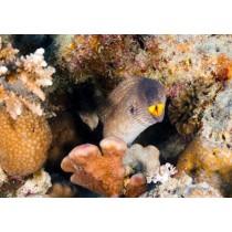 Yellowmouth Moray Eel