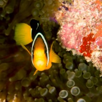 Yellowtail Clownfish peeping out from the corals