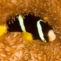 Yellowtail Clownfish gazing up from a saddle anemone