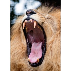 My, what big teeth you have - African Lion