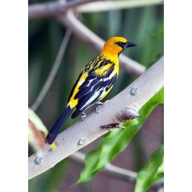 Vivid yellow Altamira oriole