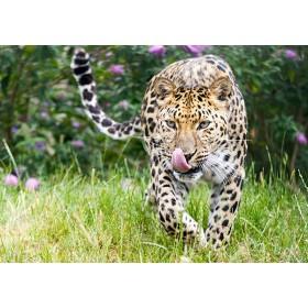 Amur leopard stalking its prey