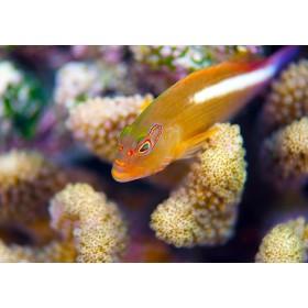 Arc-Eye Hawkfish hiding in Acropora coral