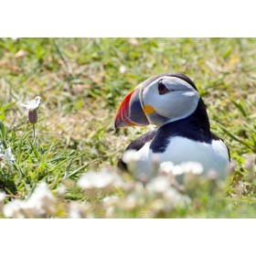 Puffins in Wales - Puffin Nestled in Wildflowers